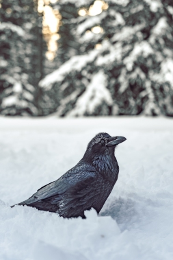 This raven who showed up ready to be a model